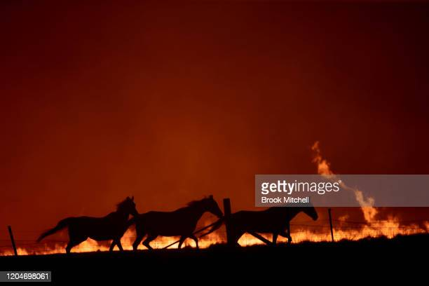 Horses panic as a spot fire runs through the property of Lawrence and Clair Cowie on February 01 2020 near Canberra Australia The couple stayed to...