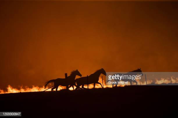Horses panick as a spot fire runs through the property of Lawrence and Clair Cowie on February 01, 2020 near Canberra, Australia. The couple stayed...
