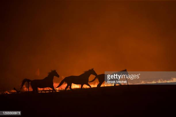 Horses panick as a spot fire runs through the property of Lawrence and Clair Cowie on February 01 2020 near Canberra Australia The couple stayed to...