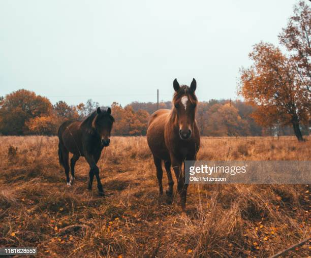 horses - vaxjo stock pictures, royalty-free photos & images