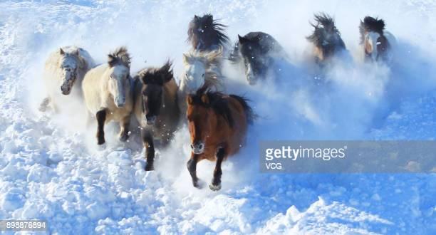 Horses run on the snowcovered grassland on December 26 2017 in Xilingol League Inner Mongolia Autonomous Region of China Xilingol herdsmen tame...