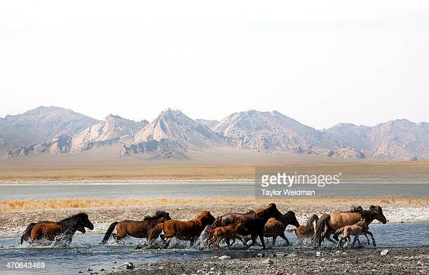 Horses run through the waters of a small lake in Mongolia Mongolian pastoral herders make up one of the world's largest remaining nomadic cultures...
