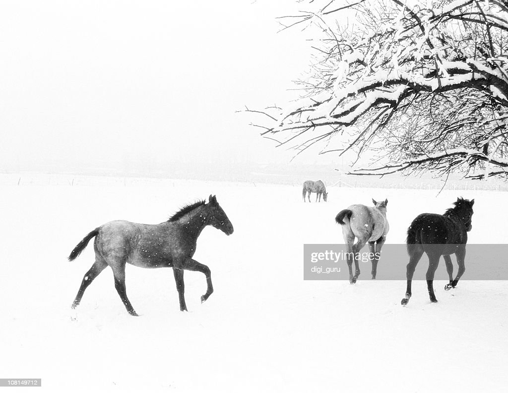 Horses Running In Snow Covered Field Black And White High Res Stock Photo Getty Images