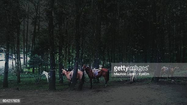 horses standing against trees in forest - lopez stock pictures, royalty-free photos & images
