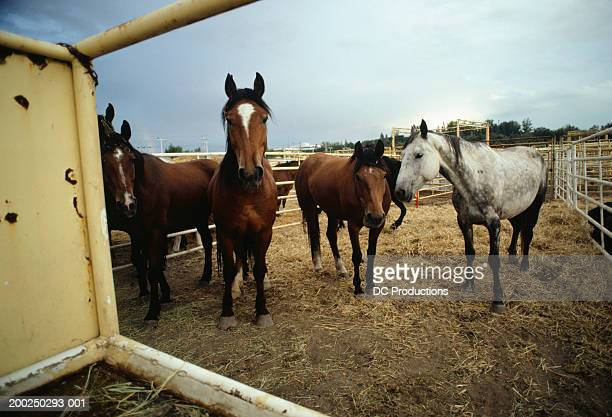 horses standing in enclosure, calgary stampede, alberta, canada - calgary stampede stock pictures, royalty-free photos & images