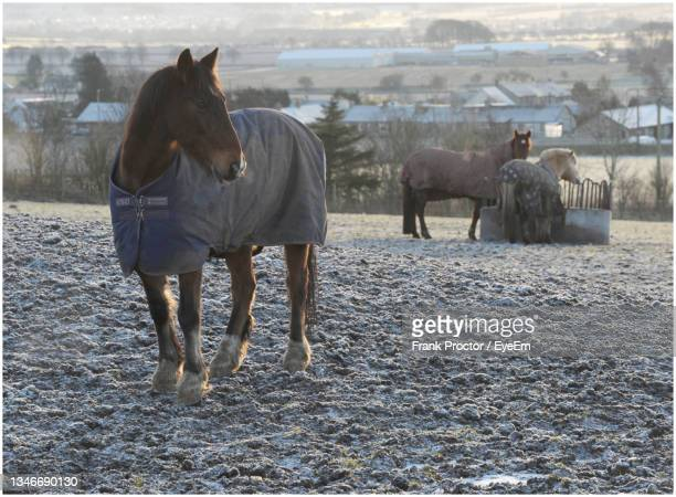 horses standing in the field - herbivorous stock pictures, royalty-free photos & images