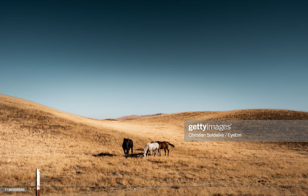 Horses Standing On Field Against Clear Sky : Stock-Foto