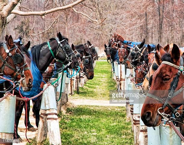Horses tied at post