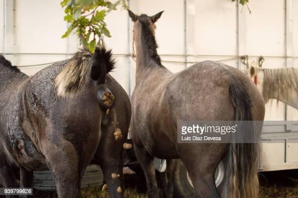 horses tied to a truck - stuhlgang stock-fotos und bilder