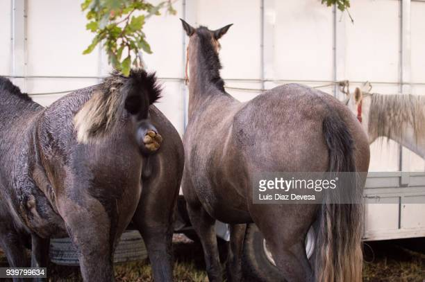 horses tied to a truck - cacca foto e immagini stock