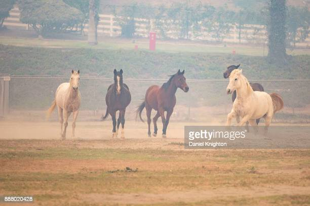 Horses wait to be evacuated from San Luis Rey Downs Training Center in Bonsall California on December 7 2017 in Ventura California A state of...
