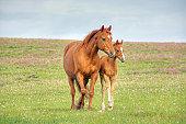 Horses walk across mountain meadow