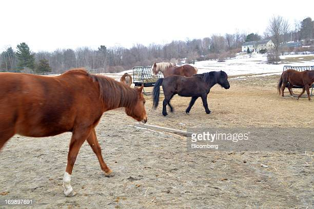 Horses walk around the paddock at Blue Rider Stables in South Egremont Massachusetts US on Tuesday Feb 19 2013 Horses are used for physical therapy...