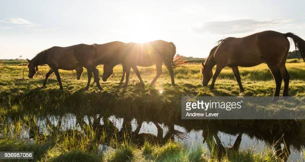 horses walking next to river. - pony stock pictures, royalty-free photos & images