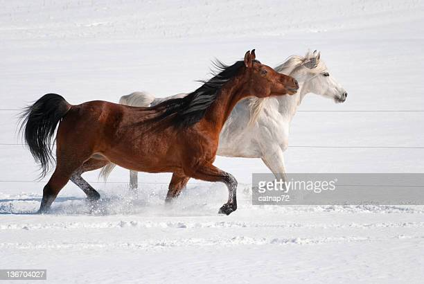 Horses Walking Together in Fresh Snow, Winter Arabians