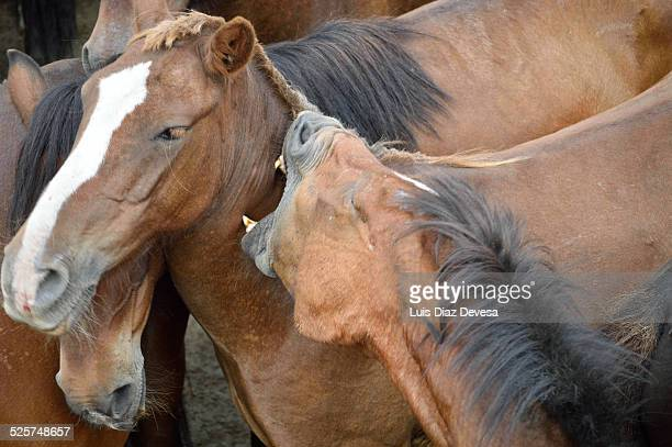 Horses wild biting each other