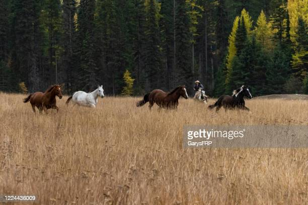 horses without rider running in grass field  montana - montana western usa stock pictures, royalty-free photos & images