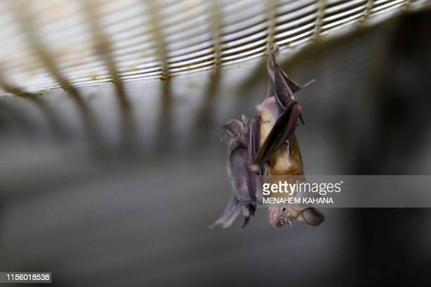 A Horseshoe bat hangs from a net inside an abandoned Israeli army outpost next to the Jordan River in the occupied West Bank on July 7 2019 The...
