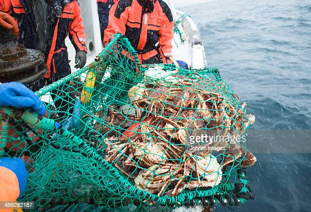 horseshoe crabs in net - crab stock photos and pictures