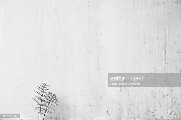 Horsetail Growing By Weathered White Wall