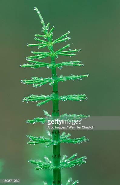 Horsetail, Mecklenburg-Western Pommerania, Germany / (Equisetum arvense)