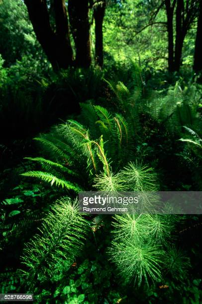 Horsetails and Sword Ferns