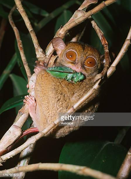 Horsfields tarsier Cephalopachus bancanus a tiny primate with cicada