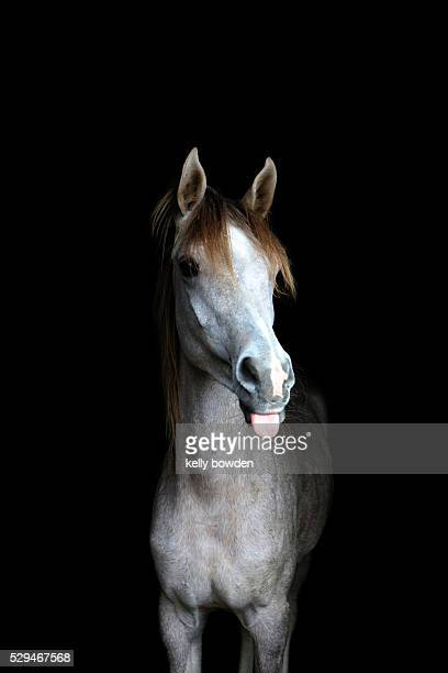 horsing around horse with tongue out - funny horses stock pictures, royalty-free photos & images
