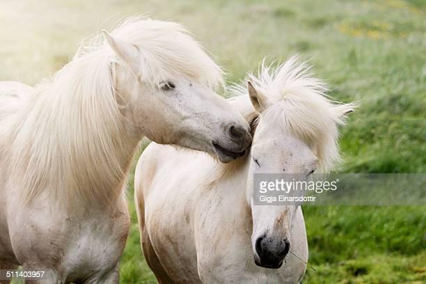 horsing around - pony play bildbanksfoton och bilder