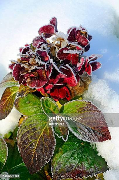 Hortensie mit Blütenstand im winterlichen Garten