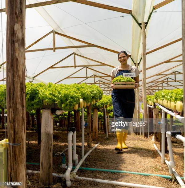 horticulturalist harvesting organic lettuce at a greenhouse - organic farm stock pictures, royalty-free photos & images
