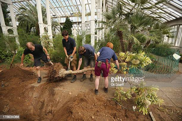 Horticulturalists at the Royal Botanic Gardens Kew remove a Banksia Serrata tree from the Temperate House prior to a fiveyear refurbishment of the...