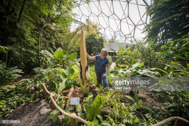 Horticulturist Emma Pearce takes pollen from the recently bloomed rare titan arum which is famous for its foul smell in the Eden Project's Rainforest...