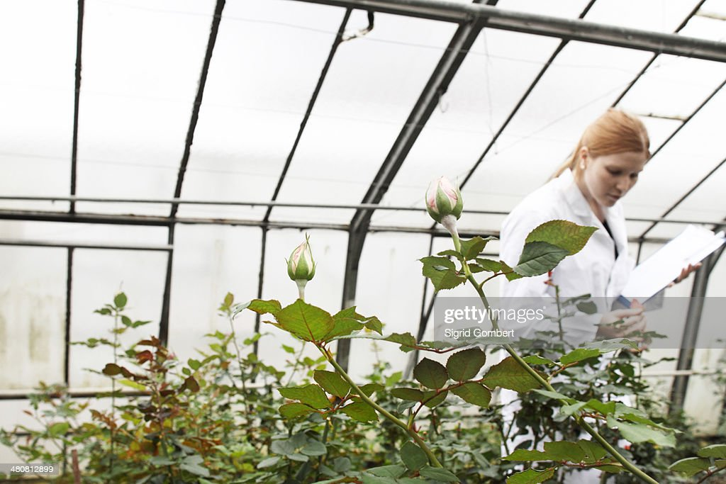 Horticulturist working in greenhouse : Stock-Foto