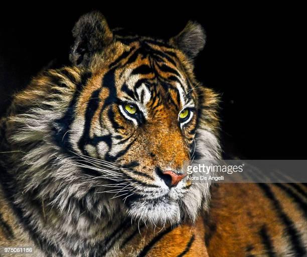hoshangābād,india - felino fotografías e imágenes de stock