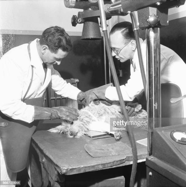 Hospital Ilford 19th March 1954 A veterinary assistant and vet xray a dog with a broken leg at the People's Dispensary for Sick Animals Hospital at...