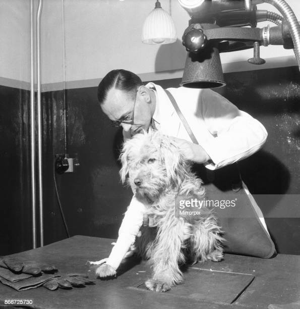 Hospital Ilford 19th March 1954 A veterinary assistant prepares a dog with a broken leg for a xray at the People's Dispensary for Sick Animals...