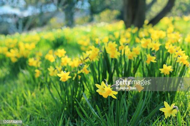 a host of golden daffodils - field stock pictures, royalty-free photos & images