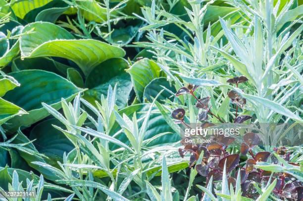 hosta, euphorbia en artemisia - asensio fotografías e imágenes de stock