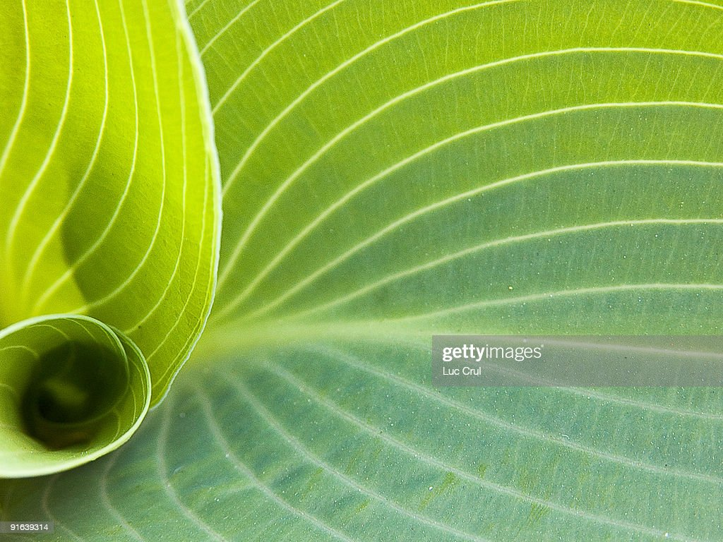 Hosta Leaf Curl Stock Photo Getty Images