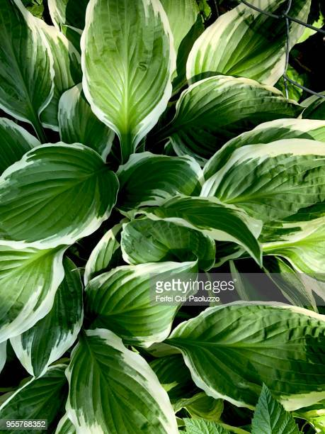 hosta plant - schöne natur stock-fotos und bilder