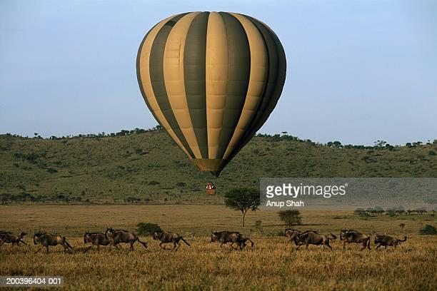 Hot air balloon above running wildebeest (Connochaetes taurinus)