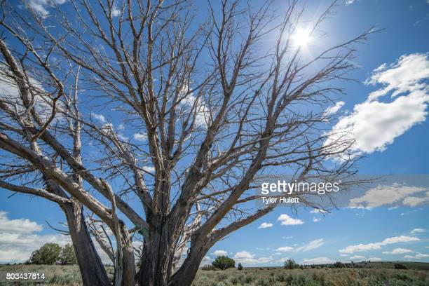 hot desert sun kills tree during a drought - sign of a changing climate - western juniper tree stock pictures, royalty-free photos & images