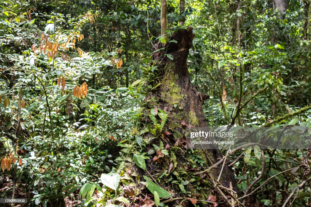Hot, moist, epiphyte-rich biome in Borneo rainforest, Malaysia : Stock Photo