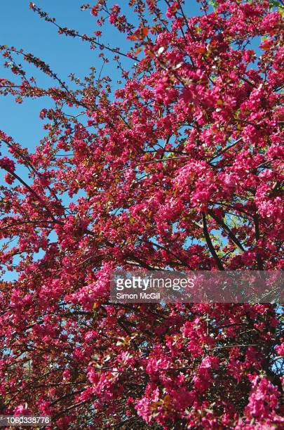 Hot pink cherry tree blossom