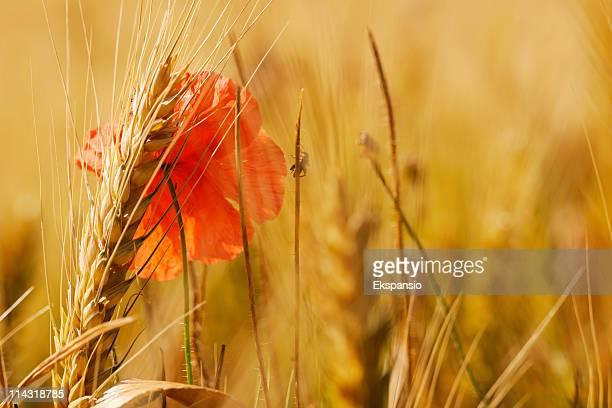 Hot Summer blé et fond abstrait COQUELICOT