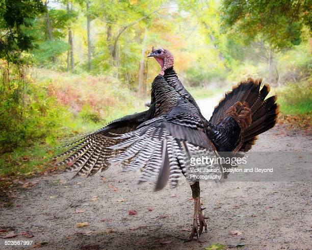 hot to trot - wild turkey for thanksgiving - sag harbor stock photos and pictures