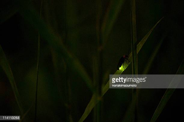 hotaru no hikari, glowing light of firefly - fireflies stock pictures, royalty-free photos & images