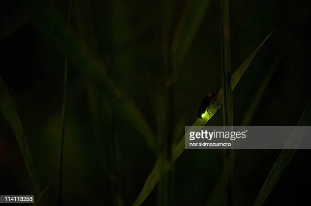 Hotaru no hikari, glowing light of firefly