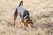 Hound Dog outdoors tracking a scent